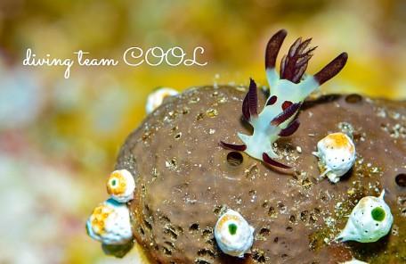 沖縄ダイビング パンダツノウミウシ