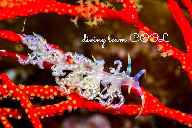 沖縄ダイビング タオヤメミノウミウシ
