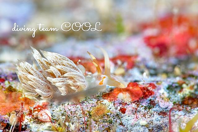 沖縄ダイビング ハクセンミノウミウシ