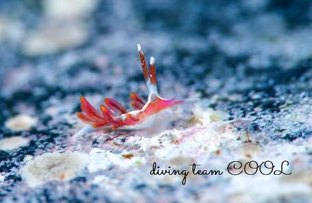 沖縄ダイビング マゼンタミノウミウシ