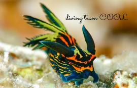 沖縄ダイビング イシガキリュウグウウミウシ
