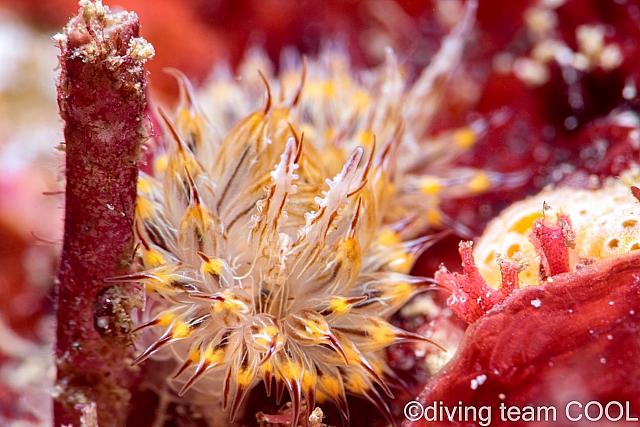 沖縄ダイビング コヤナギウミウシ