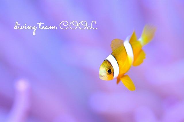 沖縄クマノミ クマノミの幼魚