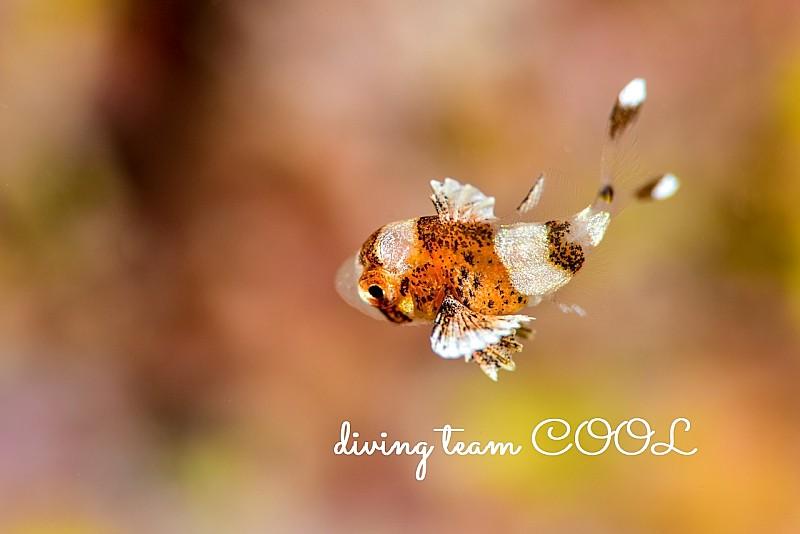 沖縄ダイビング チョウチョウコショウダイの幼魚