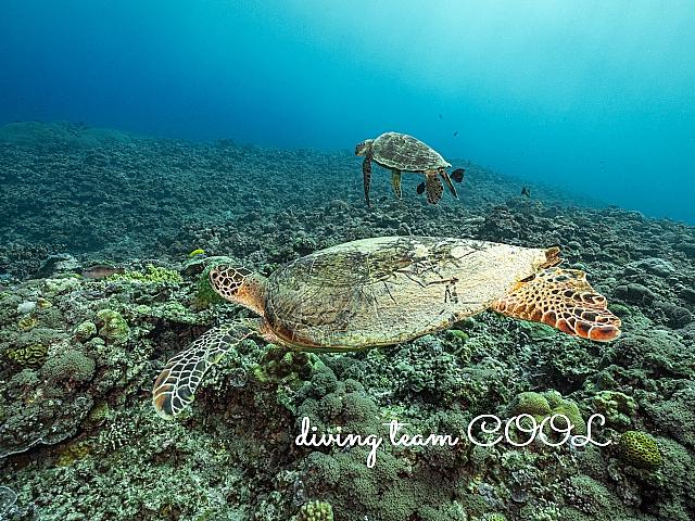 沖縄ダイビング アオウミガメ