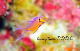 慶良間ダイビング ハナゴンべの幼魚