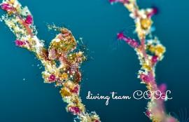 沖縄ダイビング フィコカリス・シムランス