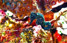 沖縄ダイビング オオウミウマ