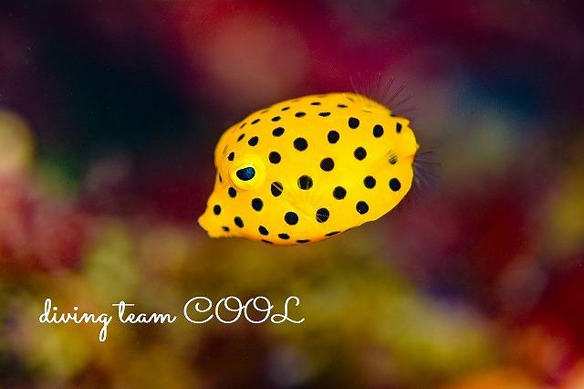 沖縄本島マクロダイブ ミナミハコフグの幼魚