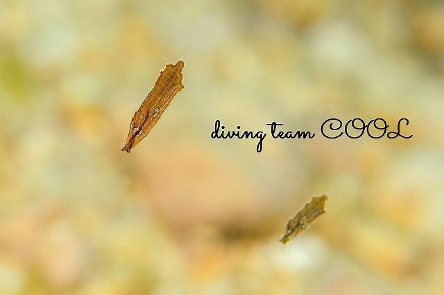 沖縄本島マクロダイビング ヘコアユの幼魚