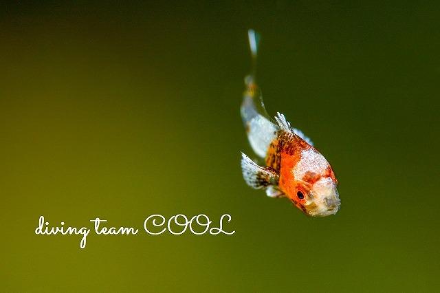 沖縄本島ビーチダイブ チョウチョウコショウダイの幼魚