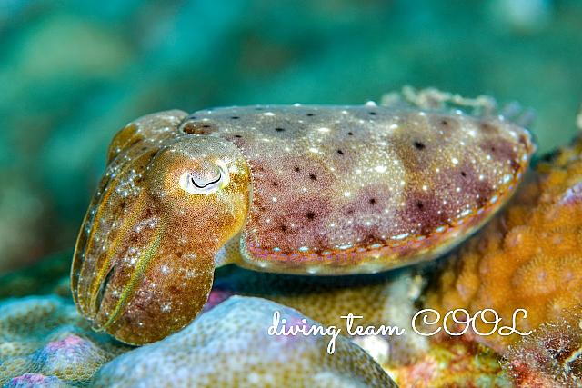 沖縄ダイビング コブシメ
