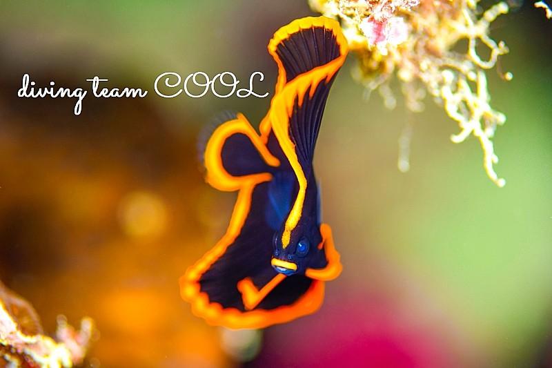 沖縄ダイビング アカククリの幼魚
