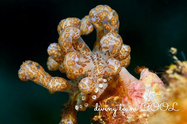 沖縄本島ウミウシダイビング オオコノハミノウミウシ