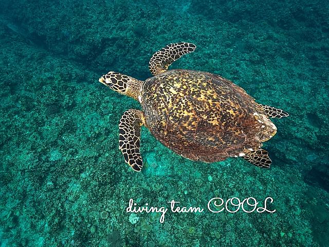 沖縄ダイビング タイマイ