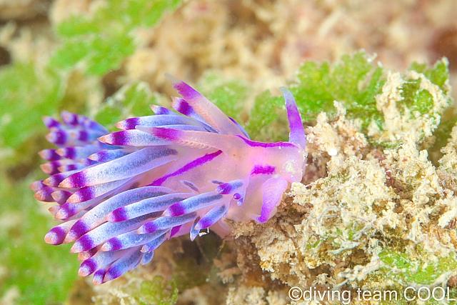 沖縄ダイビング セスジミノウミウシ