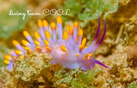 沖縄ダイビング ミチヨミノウミウシ