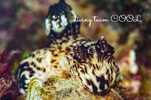 沖縄ダイビング ブッシュドノエルウミウシ