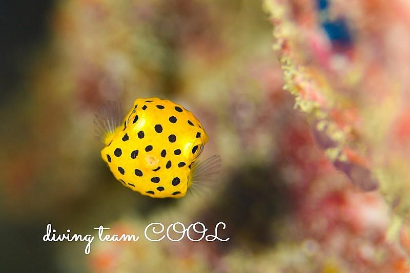 沖縄ダイビング ミナミハコフグの幼魚
