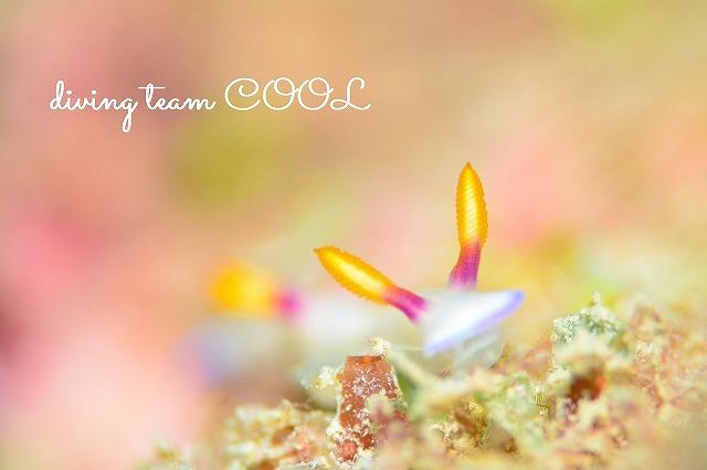 沖縄本島マクロダイブ ゾウゲイロウミウシ