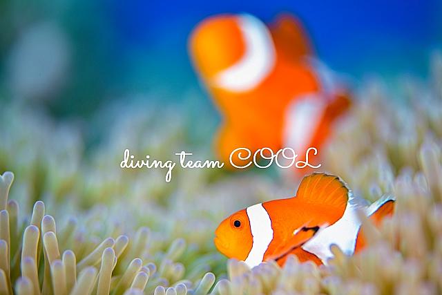 沖縄ダイビング カクレクマノミ