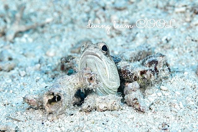 沖縄ダイビング ジョーフィッシュ