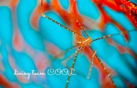 沖縄ダイビング ホシゾラワラエビ