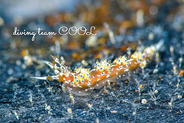 沖縄ダイビング リンカミノウミウシ