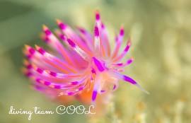 沖縄ダイビング ロータスミノウミウシ