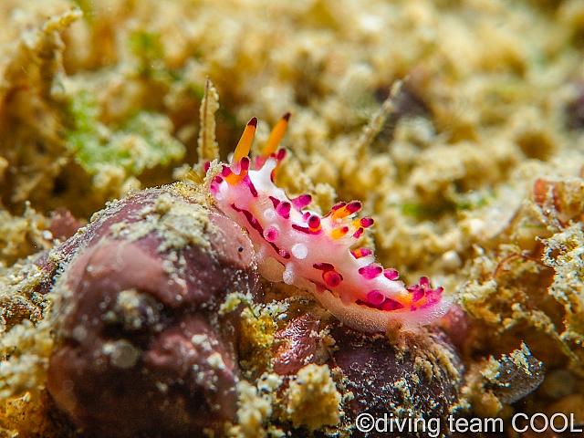 沖縄ダイビング センヒメウミウシ