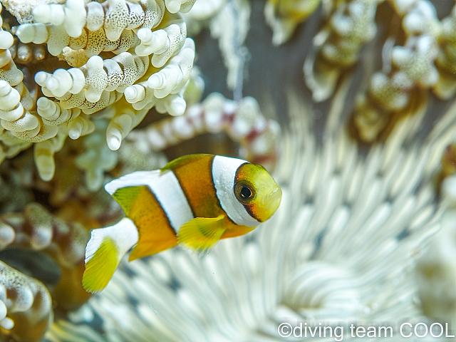 沖縄ダイビング クマノミの幼魚