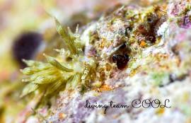 沖縄ダイビング アカメミノウミウシ
