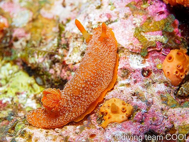 沖縄ダイビング オレンジサメハダウミウシ