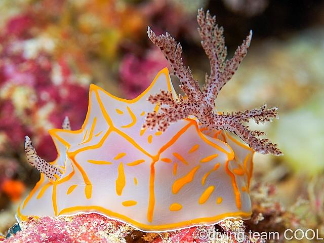 沖縄ダイビング キスジカンテンウミウシ