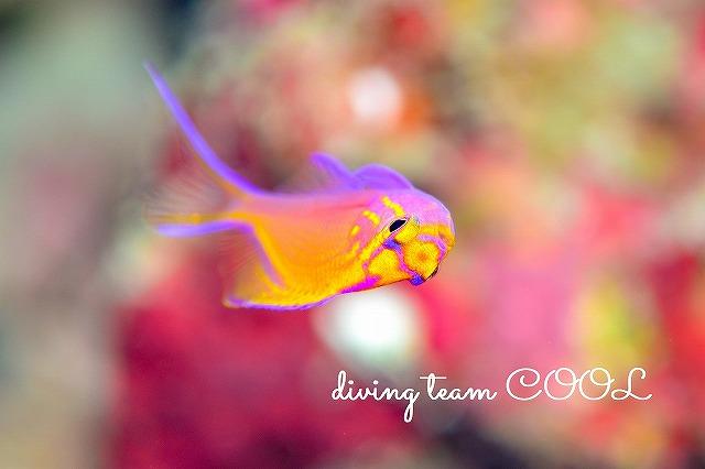 慶良間諸島ダイビング ハナゴンベの幼魚