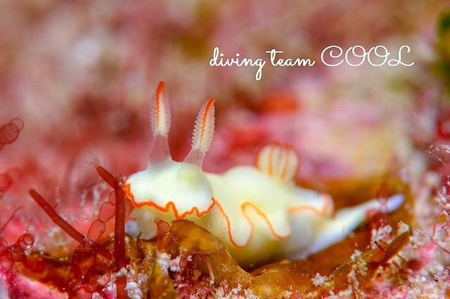 沖縄ウミウシダイビング シノビイロウミウシ