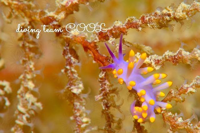 沖縄ウミウシダイビング ミチヨミノウミウシ