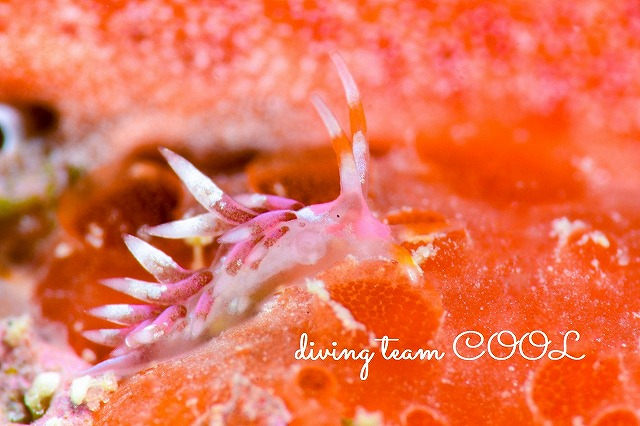 沖縄ダイビングウミウシ ホホベニミノウミウシ