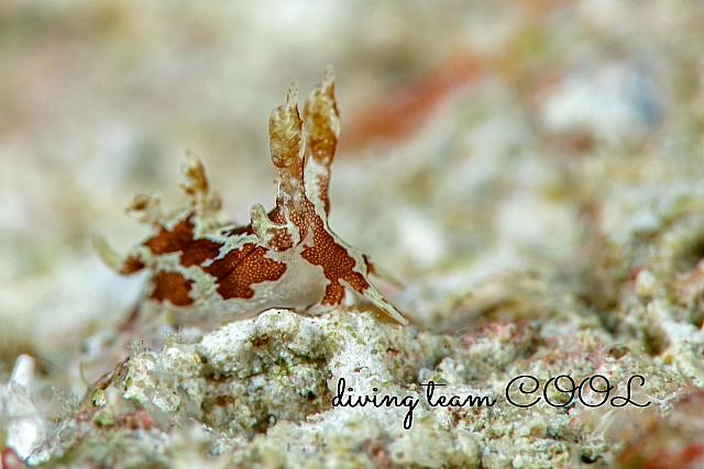 沖縄ダイビング モウサンウミウシ