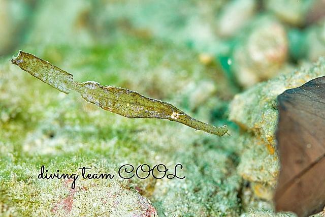 沖縄ダイビング カミソリウオ