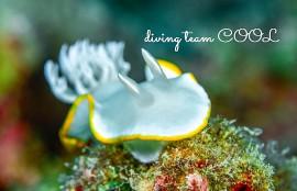 沖縄ダイビング メレンゲウミウシ