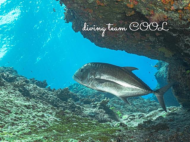 沖縄ダイビング ロウニンアジ