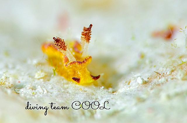 沖縄ダイビング ネコジタウミウシ属一種4