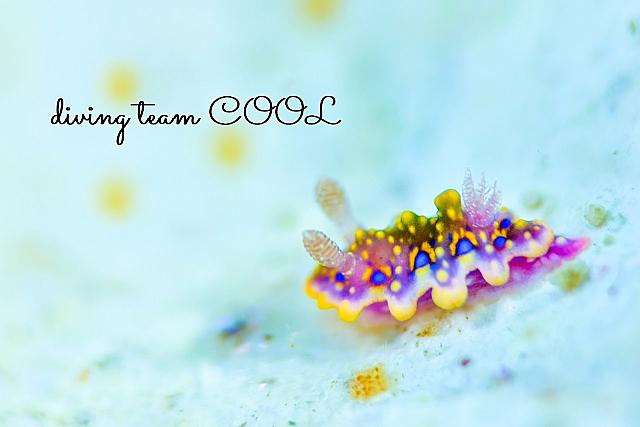 沖縄ダイビング ヨセナミウミウシ