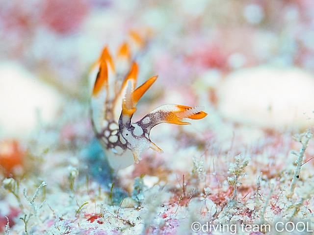 沖縄ダイビング ヒオドシユビウミウシ