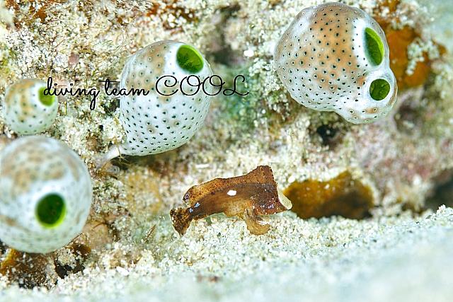 沖縄ダイビング ツマジロオコゼの幼魚