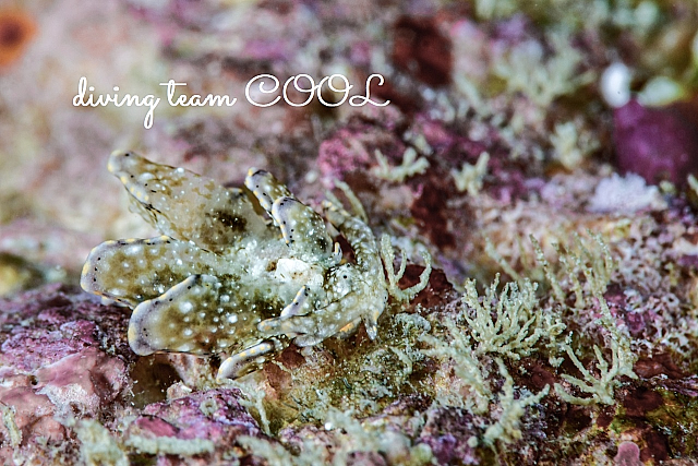 沖縄ダイビング キホシウロコウミウシ