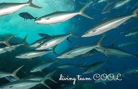 沖縄ダイビング ツムブリの群れ