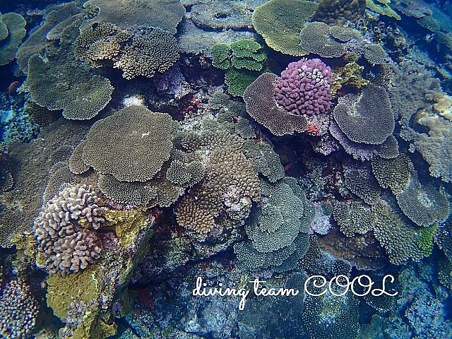 沖縄ダイビング サンゴ