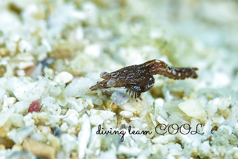 沖縄ダイビング アミの一種